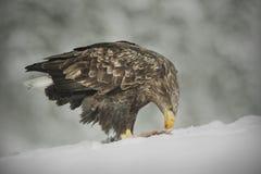 White-tailed Eagle feeding Royalty Free Stock Photo