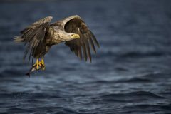 White-tailed Eagle fishing royalty free stock photography