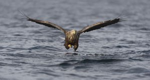 White-tailed Eagle fishing. A female white tailed eagle flying low over the cold deep water in pursuit of her quarry, which is directly between her and the Royalty Free Stock Photo