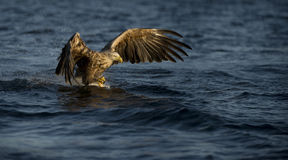 White-tailed Eagle fishing Stock Photography