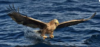 White-tailed eagle fishing. Adult white-tailed eagle Haliaeetus albicilla, also known as the ern, erne, gray eagle, Eurasian sea Stock Image