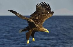 White-tailed eagle fishing. Adult white-tailed eagle Haliaeetus albicilla, also known as the ern, erne, gray eagle, Eurasian sea Royalty Free Stock Images