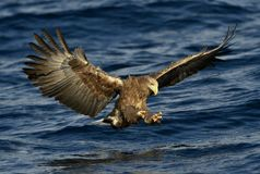 White-tailed eagle fishing. Adult white-tailed eagle Sciencific name: Haliaeetus albicilla. Also known as the ern, erne, gray eagle, Eurasian sea eagle and Royalty Free Stock Photo