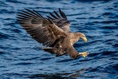 White-tailed eagle fishing. Blue Ocean Background. Scientific name: Haliaeetus albicilla, also known as the ern, erne, gray eagle stock images