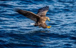 White-tailed eagle fishing. Blue Ocean Background. Scientific name: Haliaeetus albicilla, also known as the ern, erne, gray eagle royalty free stock image
