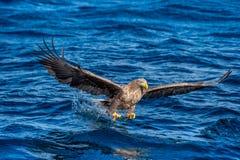 White-tailed eagle fishing. Blue Ocean Background. Scientific name: Haliaeetus albicilla, also known as the ern, erne, gray eagle stock photos