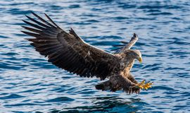 White-tailed eagle fishing. Blue Ocean Background. Scientific name: Haliaeetus albicilla, also known as the ern, erne, gray eagle royalty free stock photography