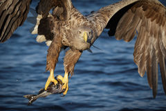 White-tailed eagle fishing Stock Images