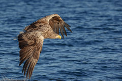 White tailed eagle fishing Royalty Free Stock Image