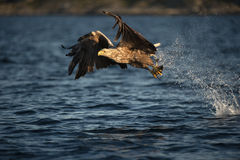White-tailed Eagle in flight. A female White-tailed Eagle Stock Photography