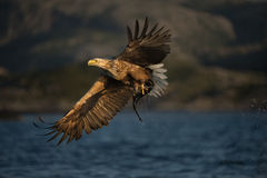 White-tailed Eagle in flight. A female White-tailed Eagle in flight Royalty Free Stock Photos