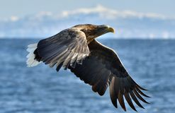 Adult White-tailed eagle in flight. Stock Images