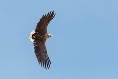 A White-tailed Eagle in flight against clear, blue sky. Royalty Free Stock Photography