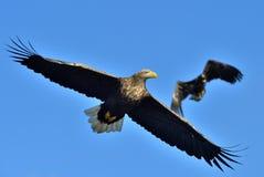 White-tailed eagle in flight. Blue sky background. Adult White-tailed eagle in flight. Blue sky background. Scientific name: Haliaeetus albicilla, also known as Stock Photo