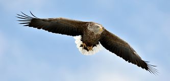 White-tailed eagle in flight. Blue sky background. Adult White-tailed eagle in flight. Blue sky background. Scientific name: Haliaeetus albicilla, also known as Royalty Free Stock Images