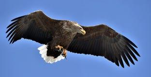 White-tailed eagle in flight. Blue sky background. Adult White-tailed eagle in flight. Blue sky background. Scientific name: Haliaeetus albicilla, also known as Stock Image