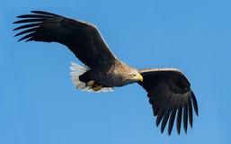 White-tailed eagle in flight. Blue sky background. Scientific name: Haliaeetus albicilla, also known as the ern, erne, gray eagle. Eurasian sea eagle and white stock photos
