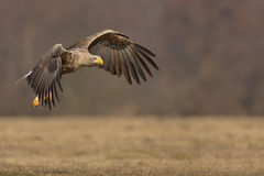 White tailed eagle in flight, copy space to right Royalty Free Stock Photo