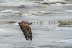 White Tailed Eagle in flight Royalty Free Stock Images