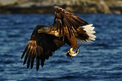 White-tailed eagle in flight, eagle with a fish which has been just plucked from the water, Scotland. Haliaeetus albicilla, eagle with a fish flies over a sea stock images