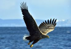 White-tailed eagle in flight, fishing. Blue sky background. White-tailed eagle in flight, fishing. Adult white-tailed eagle Haliaeetus albicilla, also known as Royalty Free Stock Images