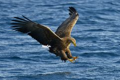 White-tailed eagle in flight, fishing. Blue ocean background. White-tailed eagle in flight, fishing. Adult white-tailed eagle Haliaeetus albicilla, also known Royalty Free Stock Photo