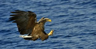 White-tailed eagle in flight, fishing. Blue ocean background. White-tailed eagle in flight, fishing. Adult white-tailed eagle Haliaeetus albicilla, also known Royalty Free Stock Images
