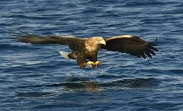White-tailed eagle in flight, fishing. Blue ocean background. White-tailed eagle in flight, fishing. Adult white-tailed eagle Haliaeetus albicilla, also known Stock Photography