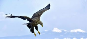 White-tailed eagle in flight, fishing. Blue sky background. White-tailed eagle in flight, fishing. Adult white-tailed eagle Haliaeetus albicilla, also known as Stock Images