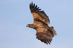 White tailed eagle in flight Stock Image