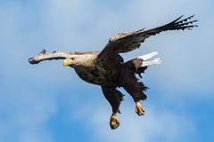 White-tailed Eagle in Flight Stock Image