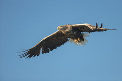 White-tailed Eagle in Flight Royalty Free Stock Images