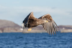 White-tailed Eagle in flight. Stock Photos