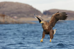 White-tailed Eagle in flight. Royalty Free Stock Photos