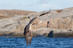 White-tailed Eagle in flight. Royalty Free Stock Image