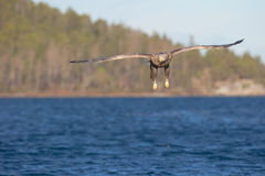 White-tailed Eagle in flight. Stock Photo