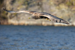White-tailed Eagle in flight. Royalty Free Stock Images