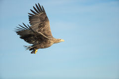 White-tailed Eagle in Flight Stock Images