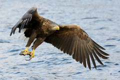 White-tailed Eagle in flight Royalty Free Stock Image