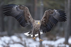 White-tailed eagle in flight talons in front royalty free stock image