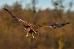 White tailed eagle in flight Royalty Free Stock Image