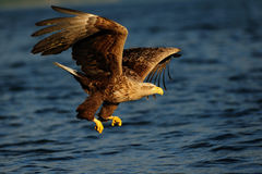White tailed eagle fly for catch Royalty Free Stock Images