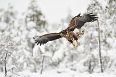 White-tailed Eagle flying Royalty Free Stock Photography