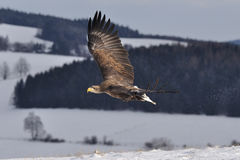 White-tailed Eagle flying above the ground. Under snow royalty free stock photography