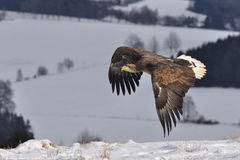 White-tailed Eagle flying above the ground. In the winter Royalty Free Stock Image