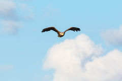 White-Tailed eagle flying in the sky Stock Images