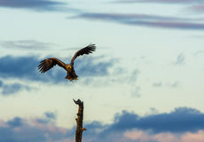 White Tailed Eagle flying towards tree top Royalty Free Stock Photography