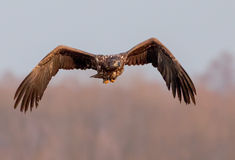 White-tailed eagle flys to me Stock Photography