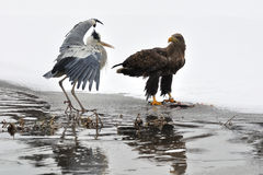 White-tailed Eagle with Grey Heron. On boarder between ice and water Stock Photos