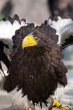 White-tailed Eagle - (Haliaeetus albicilla). The White-tailed eagle drys feathers after bathing Stock Photography
